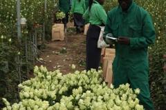 Nach der Ernte muss es schnell gehen: die Rosen müssen auf eine einheitliche Länge geschnitten, gebündelt und vor allem gekühlt werden.