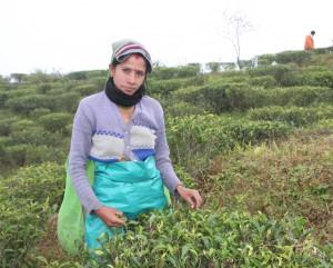 Teepflückerin in Samabeong