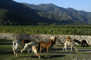 Vinedos Organicos Emiliana