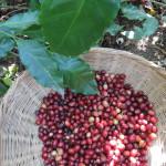 Fairer Handel, Kaffeekirschen, Kaffeernte