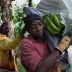 Bananenbauer der Kooperative Banelino