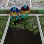 Bananenbauern der Kooperative Banelino