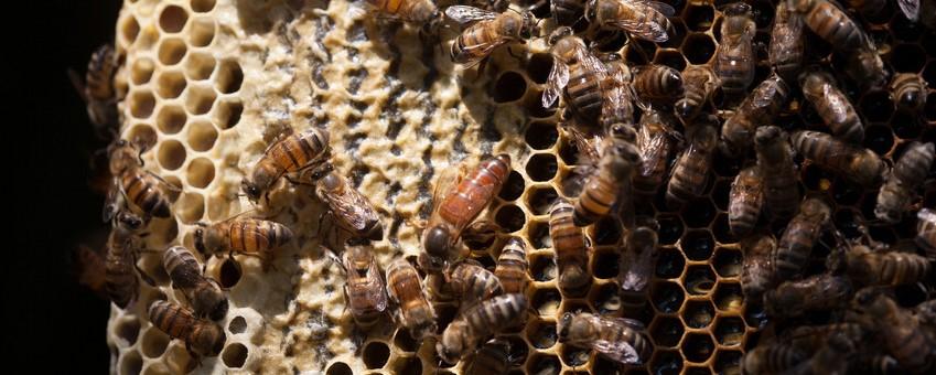 Eine Bienenkönigin in einem Bienenstock der Fairtrade-Kooperative Copiasuro in Guatemala