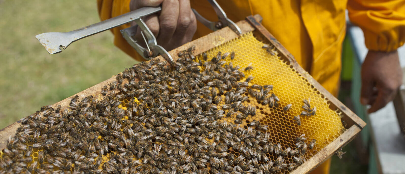 Fairtrade-Imker hält einen Rahmen mit Bienenwaben und Bienen in der Hand, auf den Waben sitzen Bienen