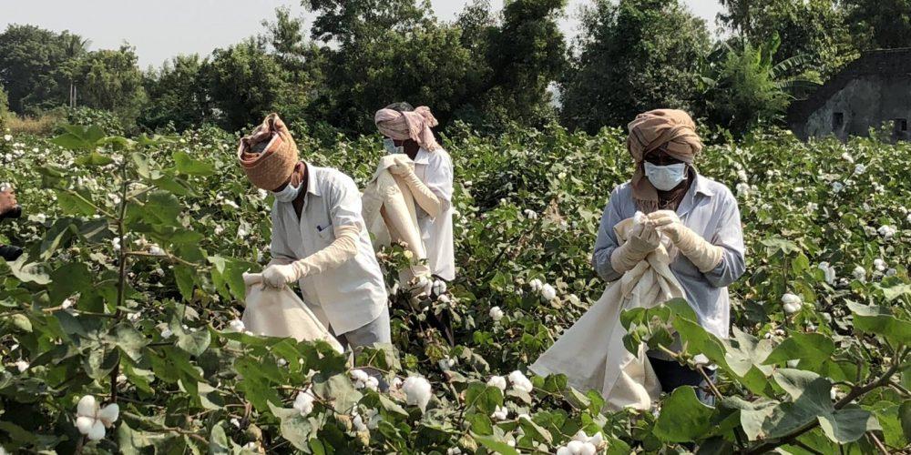 Baumwollernte in Indien. Zweite Station: Chotila