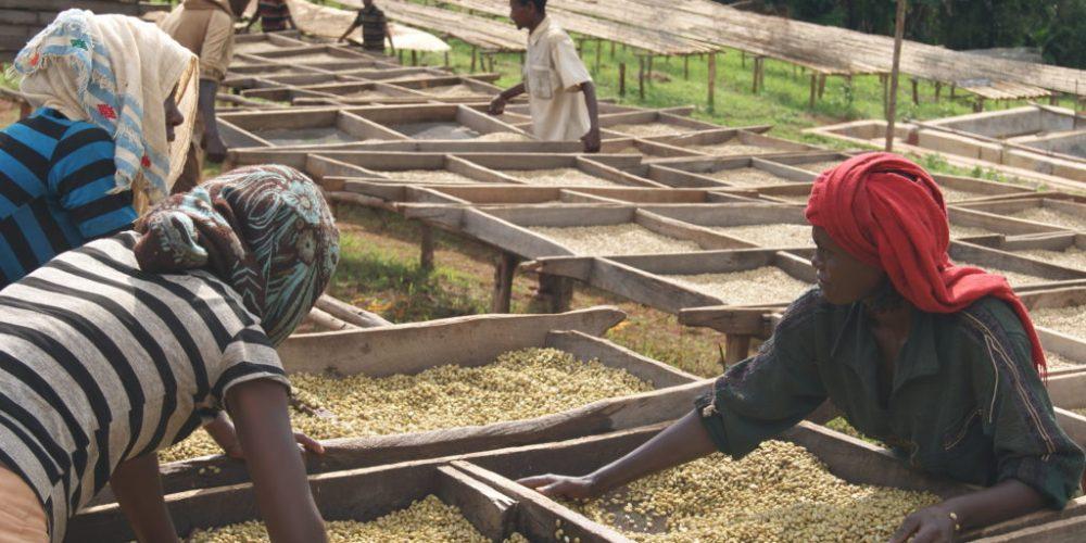 Besuch von Fairtrade-zertifizierten Kooperativen der Oromia Coffee Farmers' Cooperative Union (OCFCU)